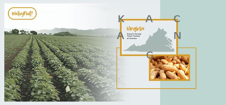 Kualitas Kacang Virginia
